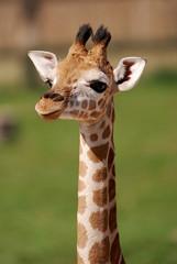 puppy giraffe