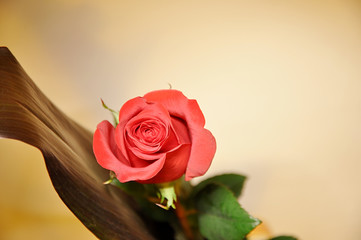 Single rose on a grungy background.