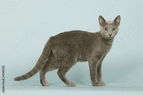 russian blue cat for sale - 1030×600