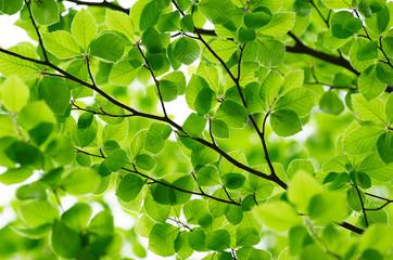 Obraz Detail of fresh beech tree leaves in early spring - fototapety do salonu