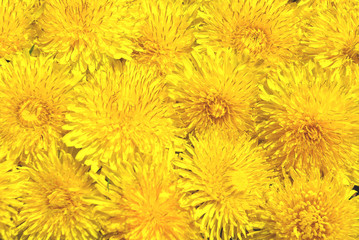 Background from dandelions