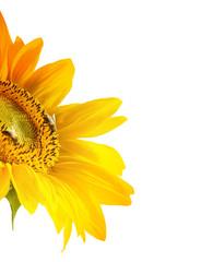 Beautiful sunflower, isolated