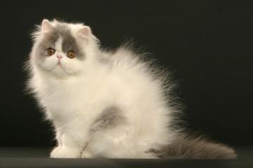 chaton persan bicolore assis en studio sur fond noir-peur