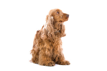 Cocker spaniel isolated on a white background
