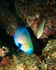 Rusty Parrotfish and Klunzinger's Wrasse