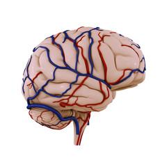 Brain Veins Arteries b