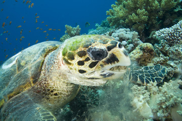 Turtle with mouth full of coral