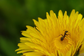 花粉まみれのアリ