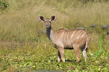 Kudu Antilope steht im Wasser (Weibchen)