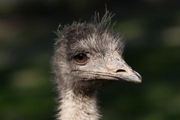 Emu-Porträt