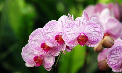 Blütenreihe einer Phalaenopsis-Orchidee