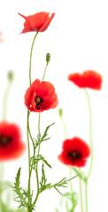 image de fleurs coquelicots isolés sur un fond blanc