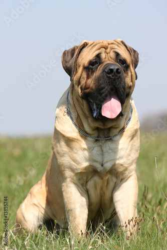 chien mastiff bullmastiff de face assis dans l 39 herbe d 39 un pr photo libre de droits sur la. Black Bedroom Furniture Sets. Home Design Ideas