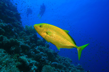 Orangespotted Trevally (Carangoides bajad) and Scuba Divers
