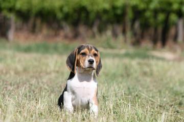 petit chiot beagle assis tout seul à la campagne
