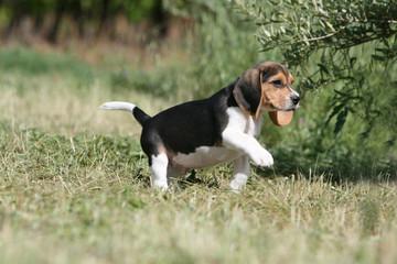 rigolo chiot beagle tricolore en marche à la campagne
