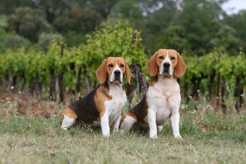 couple de beagles adultes assis devant un vignoble