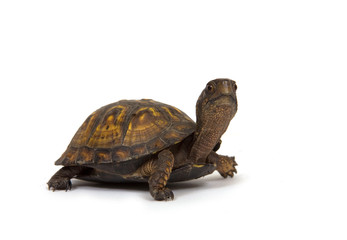 Box turtle on white background