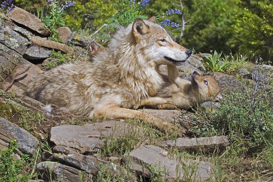 Wolf with her cub