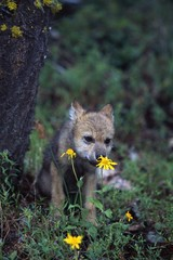 Wolf puppy sniffing yellow flower