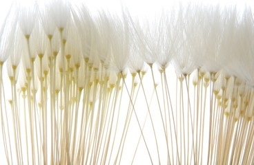 Canvas Prints Dandelions and water soft white dandelion seeds