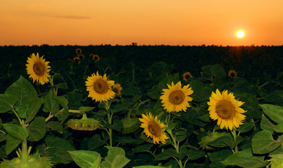 Klistermärke - Sunflower field in the sunset