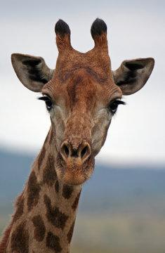 Giraffe, Südafrika, Hluhluwe Umfolozi Nationalpark