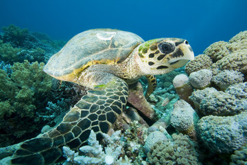Hawksbill Turtle rests on Coral Reef while feeding