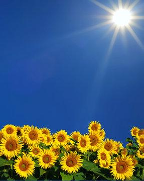 tournesols en plein soleil