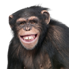 Fotorolgordijn Aap Young Chimpanzee - Simia troglodytes (6 years old)