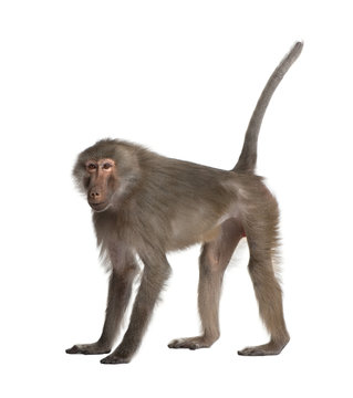 Baboon  -  Simia hamadryas