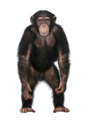 Fotorolgordijn Aap Young Chimpanzee standing up like a human - Simia troglodytes (5