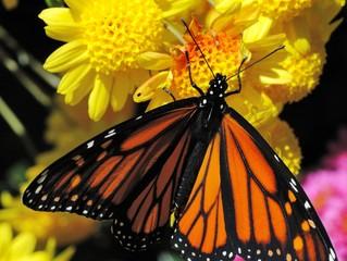 Butterfly (Monarch, Danaus plexippus)