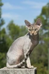 chat devon rex assis sur un muret de profil. rex devon