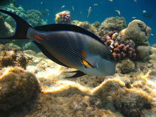 Pesce chirurgo - Mar Rosso