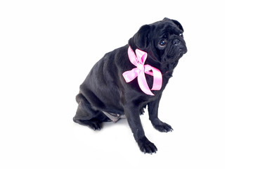 Blac Pug with pink bow on neck