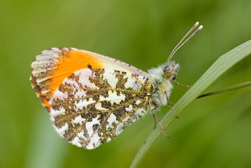 Close-up of Orange Tip butterfly (male)
