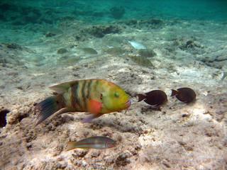 Pesci tropicali - Mar Rosso