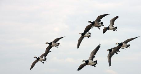 migration des oies
