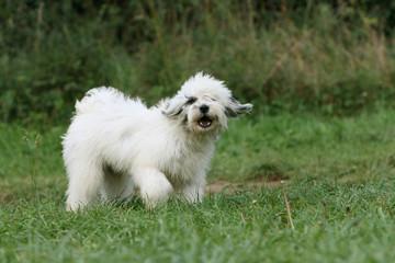 grimace du terrier du tibet titubant dans l'herbe du jardin