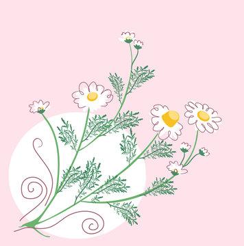 simlpe botanical chamomile