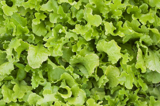 A bed of loose leaf lettuce