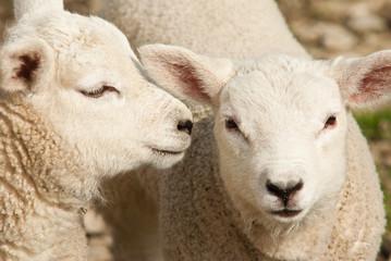 Lambs whisper (IGP8329)