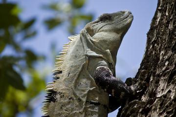 Iguana portrait in Belize