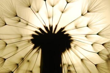 Canvas Prints Dandelions and water dandelion seed
