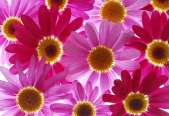 In de dag Macro red and pink marguerites