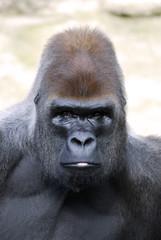 Portrait de face d'un gorille
