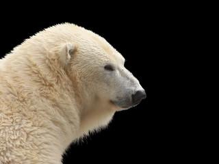 Geïsoleerde ijsbeer