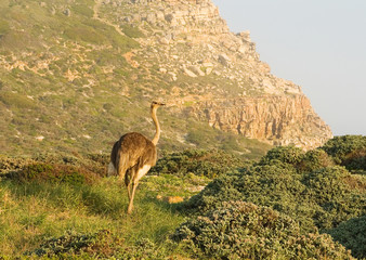 An Ostrich at Cape Point, South Africa