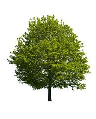 Isolated Maple Tree